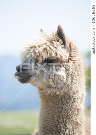 羊驼 动物宝宝 外形