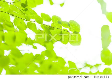 树叶 翠绿 银杏叶