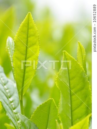 树叶 茶饮 银杏叶