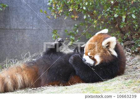 躺/�ij�{��j8�Nh@_图库照片: 小熊猫 正视 仰面躺