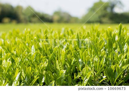 翠绿 首页 照片 人物 男女 日本人 新茶叶 茶园 翠绿  *pixta限定素材