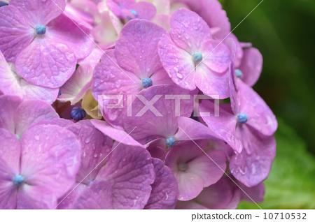 绣球花 水滴 粉色