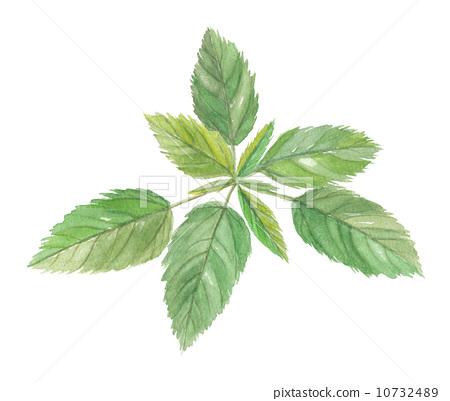 插图素材: 长蒴黄麻 叶子 叶