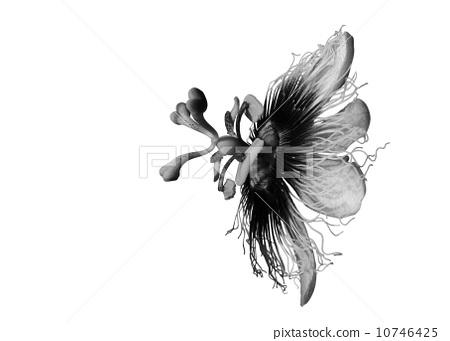 花朵 黑白的 花