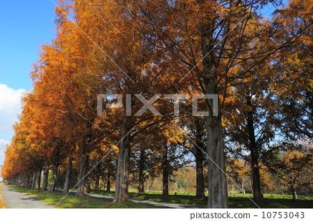 图库照片: 水杉 街道树 行道树