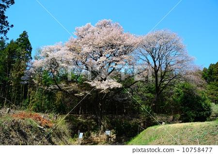 野樱桃花 野樱桃树 樱桃树