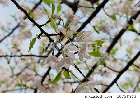 花卉 首页 照片 植物_花 樱花 樱花 樱树 花朵 花卉  *pixta限定素材
