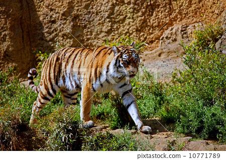 照片素材(图片): 老虎 虎 风景