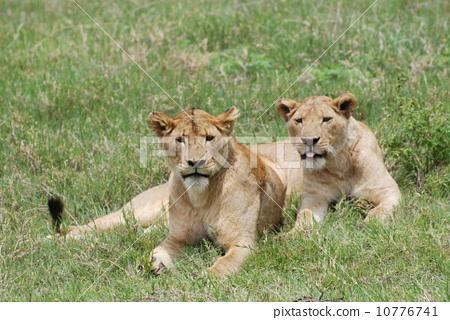 野生生物 野生动物 狮子