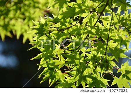 秋天颜色 观赏秋天的树叶 绿色