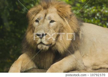 照片 动物_鸟儿 狮子 凶猛的野兽 狮子 百兽之王  *pixta限定素材仅在