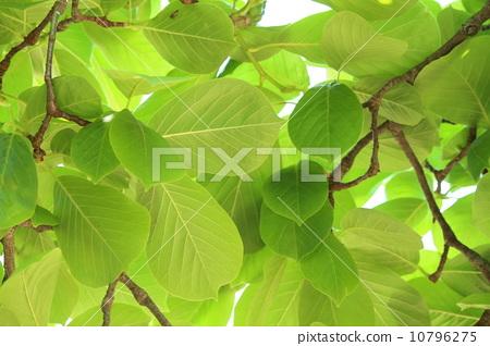 照片: 树叶 银杏叶 玉兰