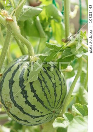 西瓜 双子叶植物 露天