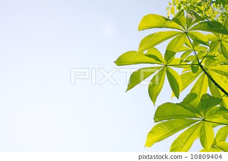 树叶 银杏叶 七叶树