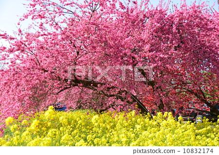 盛开 桃花 场景