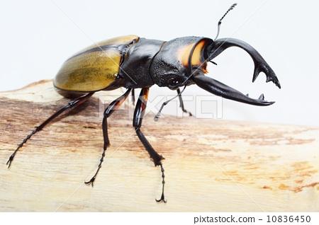 锹形虫 节肢动物 仲夏