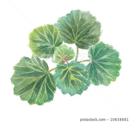 植物_花 观叶植物 插图 草莓天竺葵 水彩 水彩画 首页 插图 植物_花