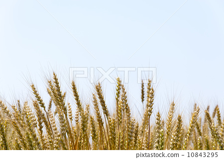 晴天 小麦地 麦穗