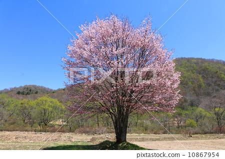 樱花 野樱桃树 东北地区