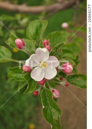 花朵 蘋果樹上 花卉