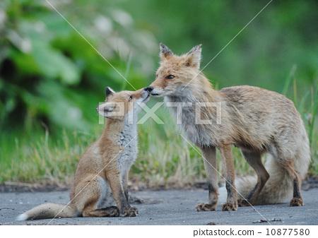 照片: 父母和小孩 接吻 狐狸