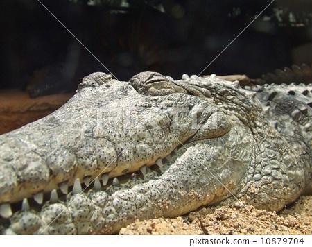 鳄鱼 爬虫类的 动物
