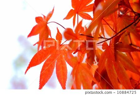 树叶 银杏叶 日本枫树