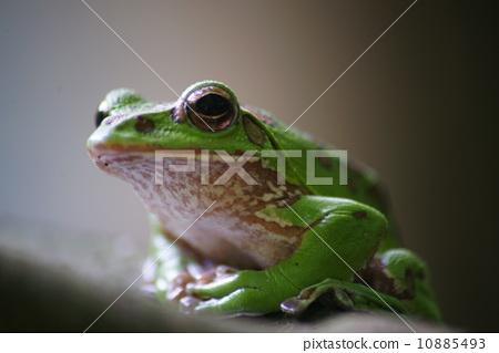 爬行动物_昆虫_恐龙 青蛙 照片 树蛙 森林绿树蛙 青蛙 首页 照片 爬行