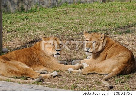 狮子 母狮 睡觉