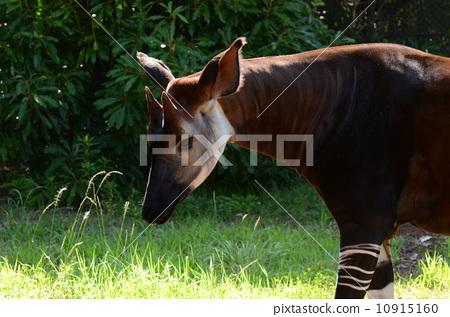 图库照片: 霍加 条纹式样 稀有动物