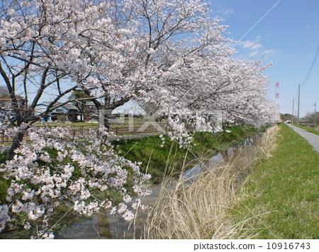 一排樱桃树 樱花 埼玉县