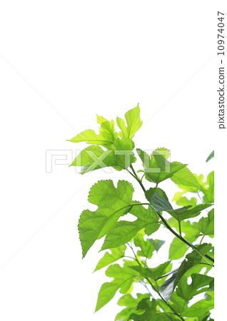 树叶 银杏叶 桑园
