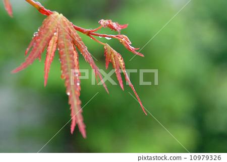 多雨的 银杏叶 树叶