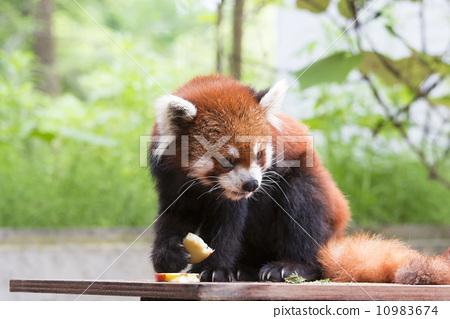 小熊猫 有名气的人 点心 首页 照片 姿势_表情_动作 表情 可爱 小熊猫