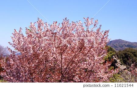 野樱桃花 野樱桃树