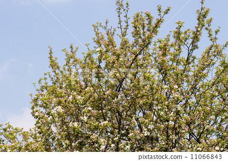 苹果 落叶树 蓝天