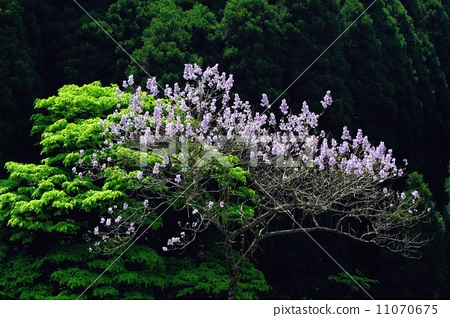泡桐树 stock photos