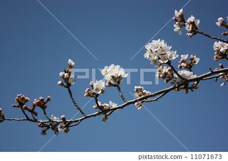 树枝 樱花 樱桃树