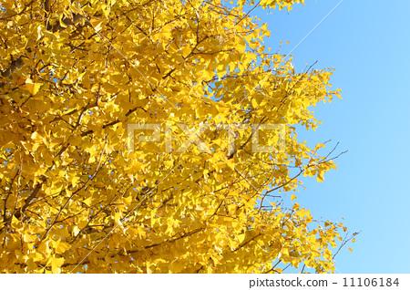 图库照片: 银杏 树叶 阔叶树