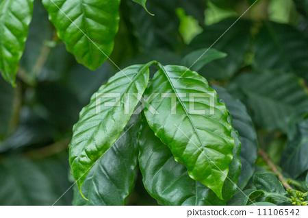 咖啡树 阿拉伯半岛 向上