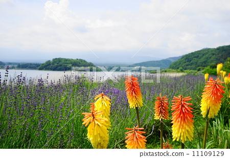 花朵 花卉 火炬花-图库照片 [11109129] - pixta
