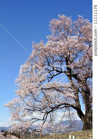 树枝低垂的樱花树 植物