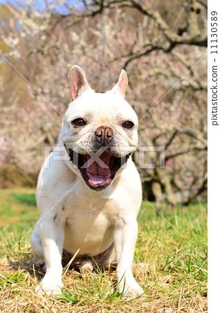 动物_鸟儿 狗 法国牛头犬 照片 法国牛头犬 狗 狗狗 首页 照片 动物