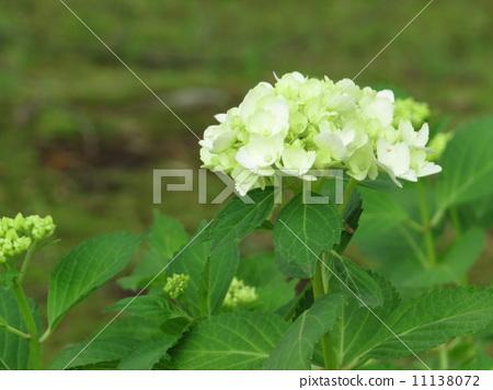绣球花 风景 白色