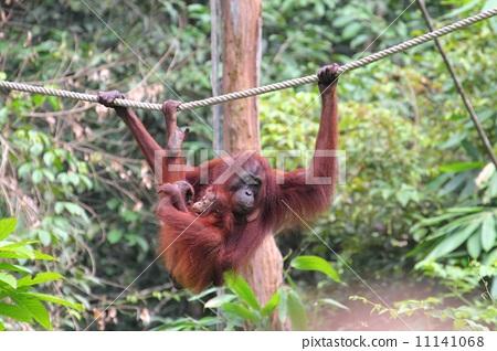 父母和小孩 猩猩 热带雨林
