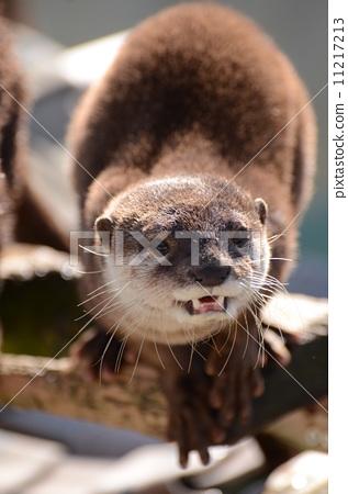 照片: 动物 亚洲小爪水獭 动物宝宝