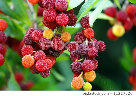水果 日本月桂树的果实 植物人