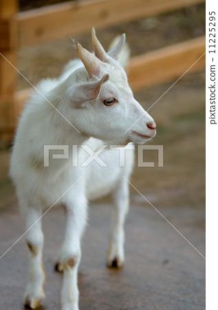 图库照片: 雪羊 动物 牲畜