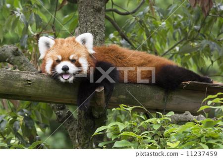 小熊猫 哺乳动物 漂亮