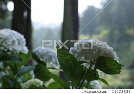 照片 植物_花 绣球花 绣球花 日本柳杉灌木丛 雨季  *pixta限定素材仅
